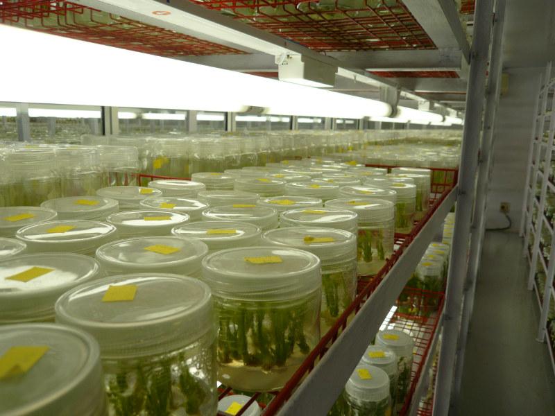 Bloomz new zealand zantedeschia calla lily tissue for Air circulation in a room